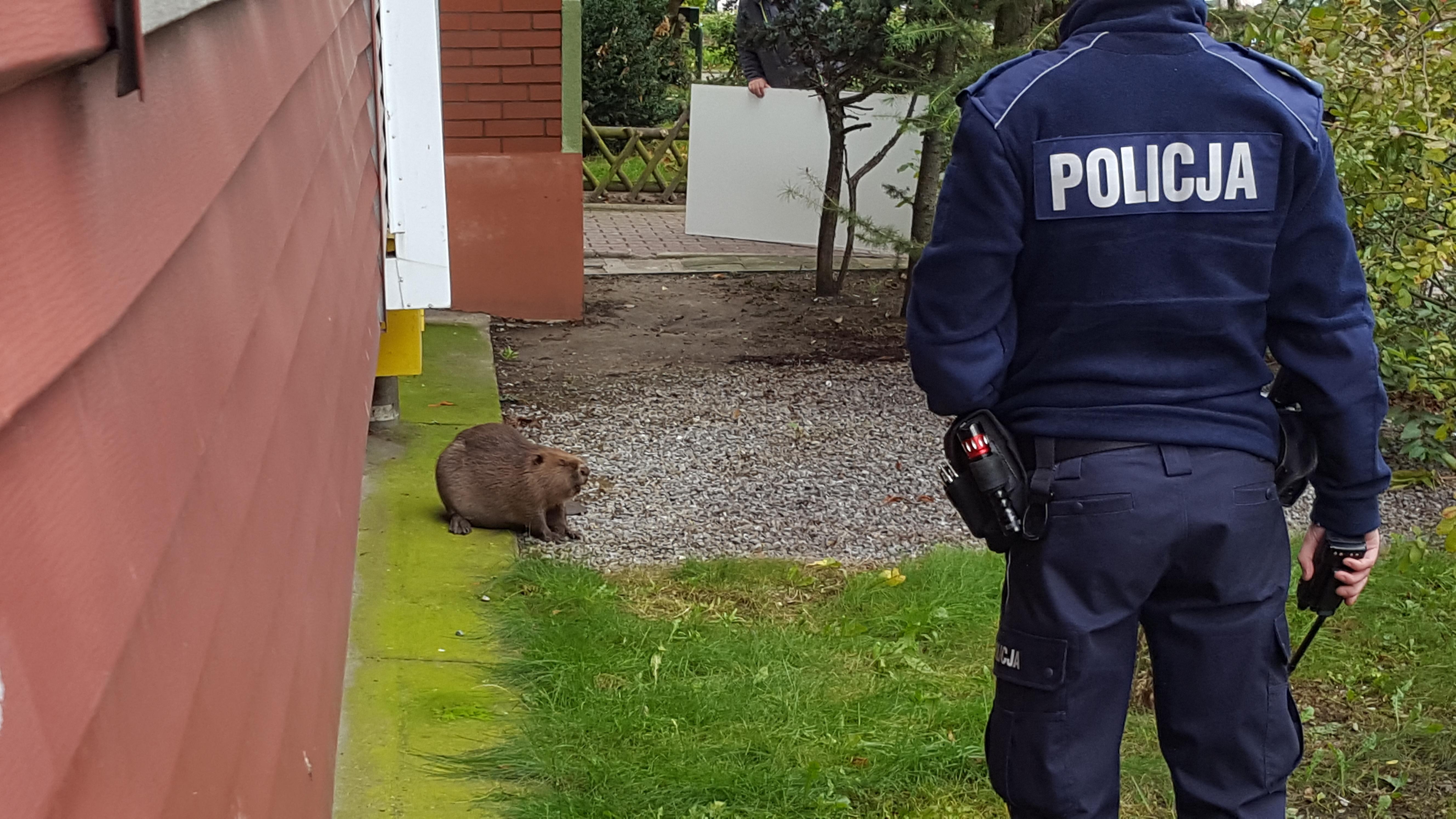 Policyjna obława na bobra