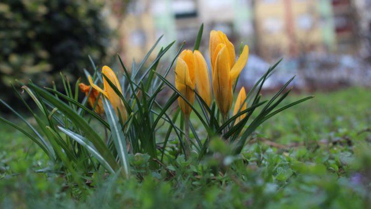 Kwitną krokusy, idzie wiosna. Lubin przyozdobią tysiące kwiatów