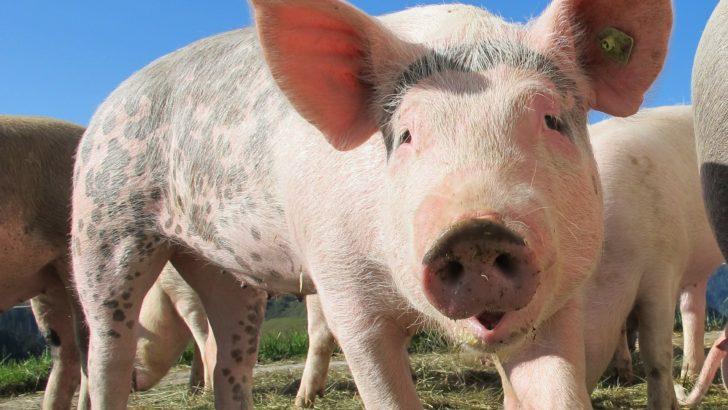 Obowiązkowa bioasekuracja dla hodowców świń