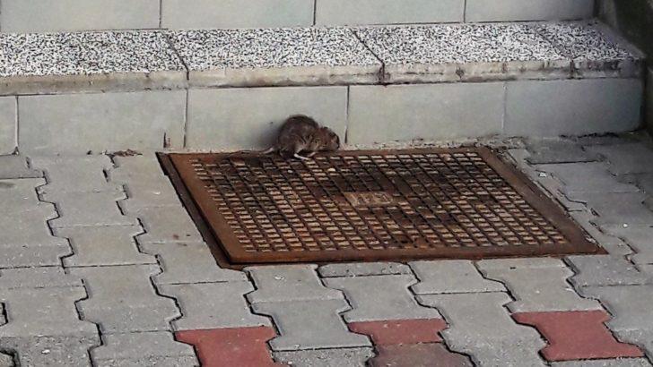 W mieście pojawiły się szczury