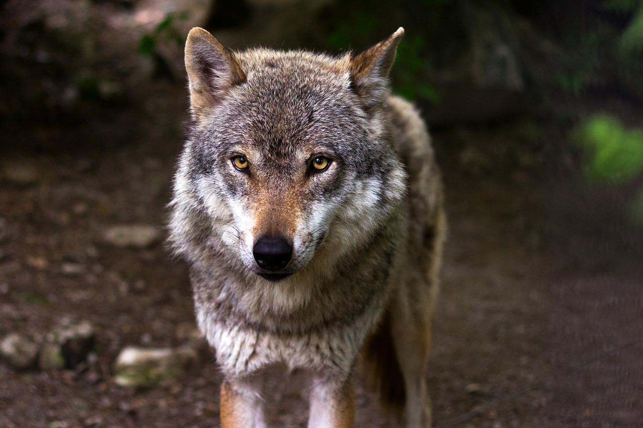 W ciągu kilkunastu miesięcy potrącono dwa wilki